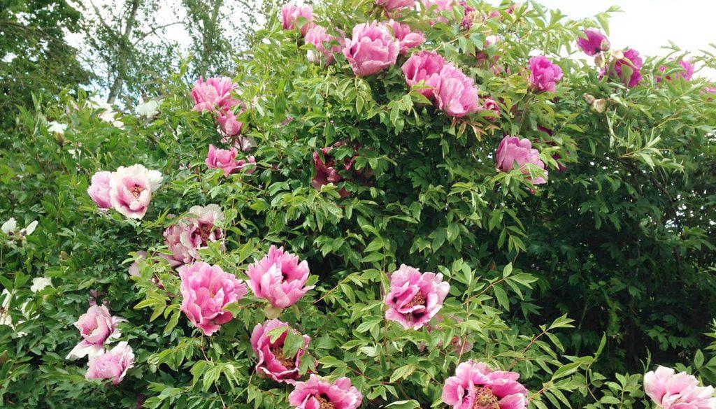 Pæoner hos Englegaarden - Bedre end Høje Tåstrup blomster